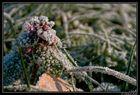Frostige Nessel