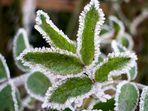 Frostige Schönheit