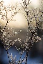 * frostige Schönheiten *
