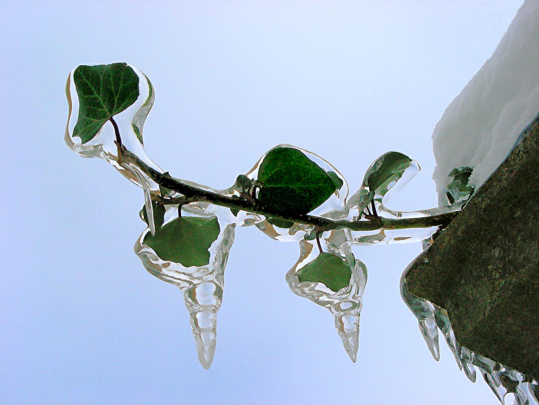 Frostiger Efeu