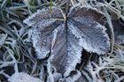 frozen Ahorn