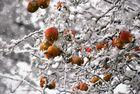 Frozen Apples II