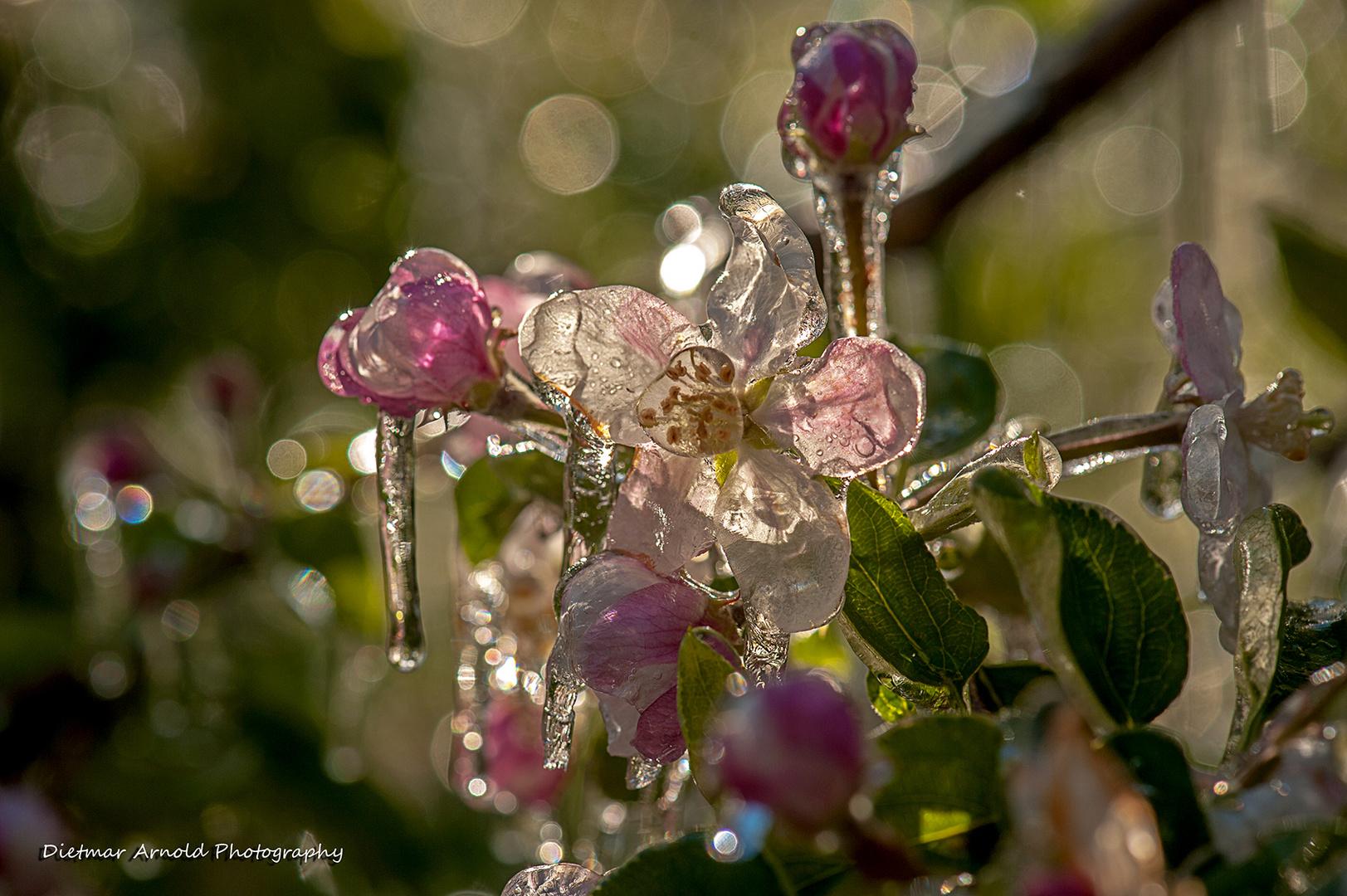 frozen blooms I