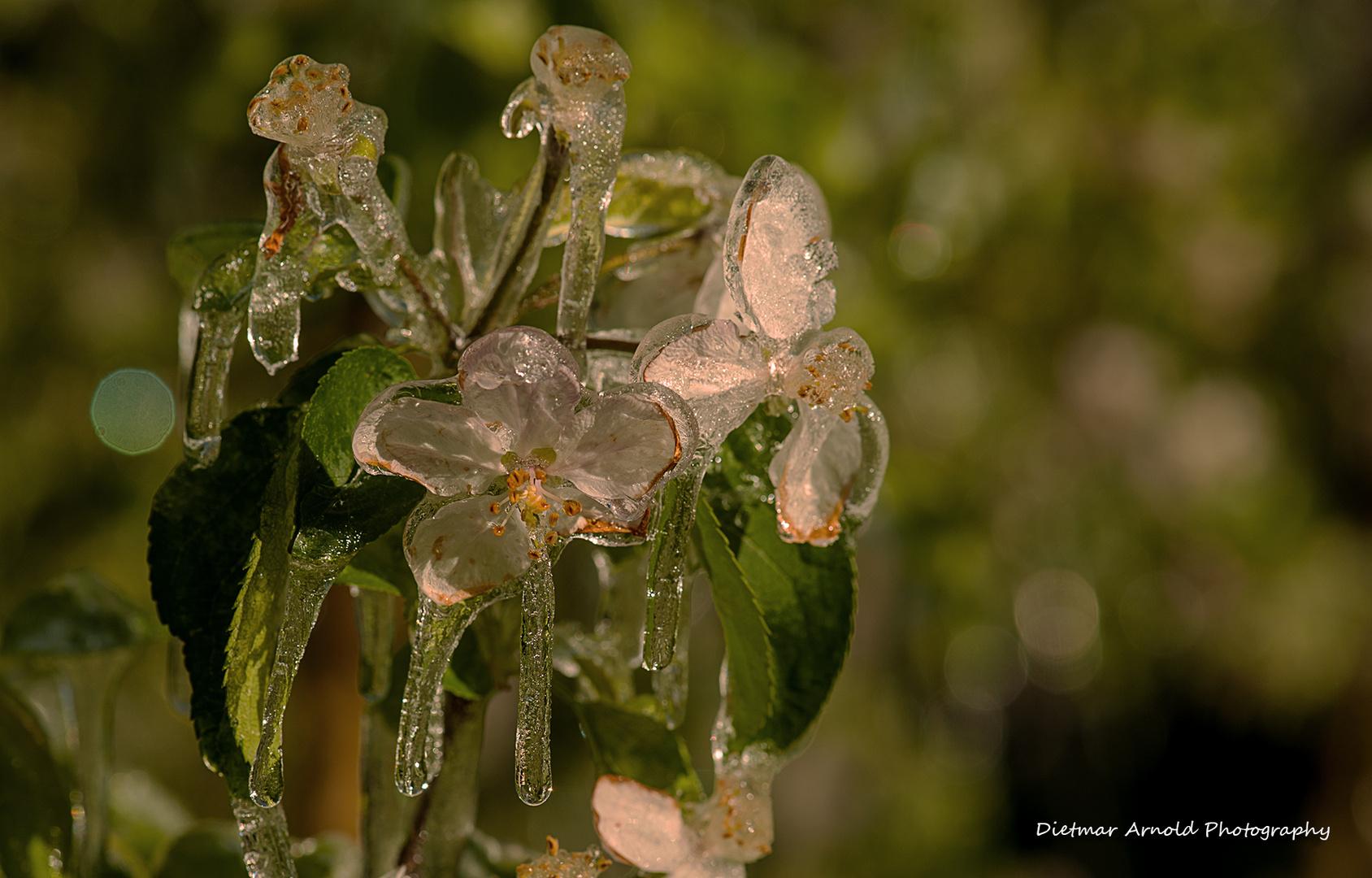 frozen blooms II