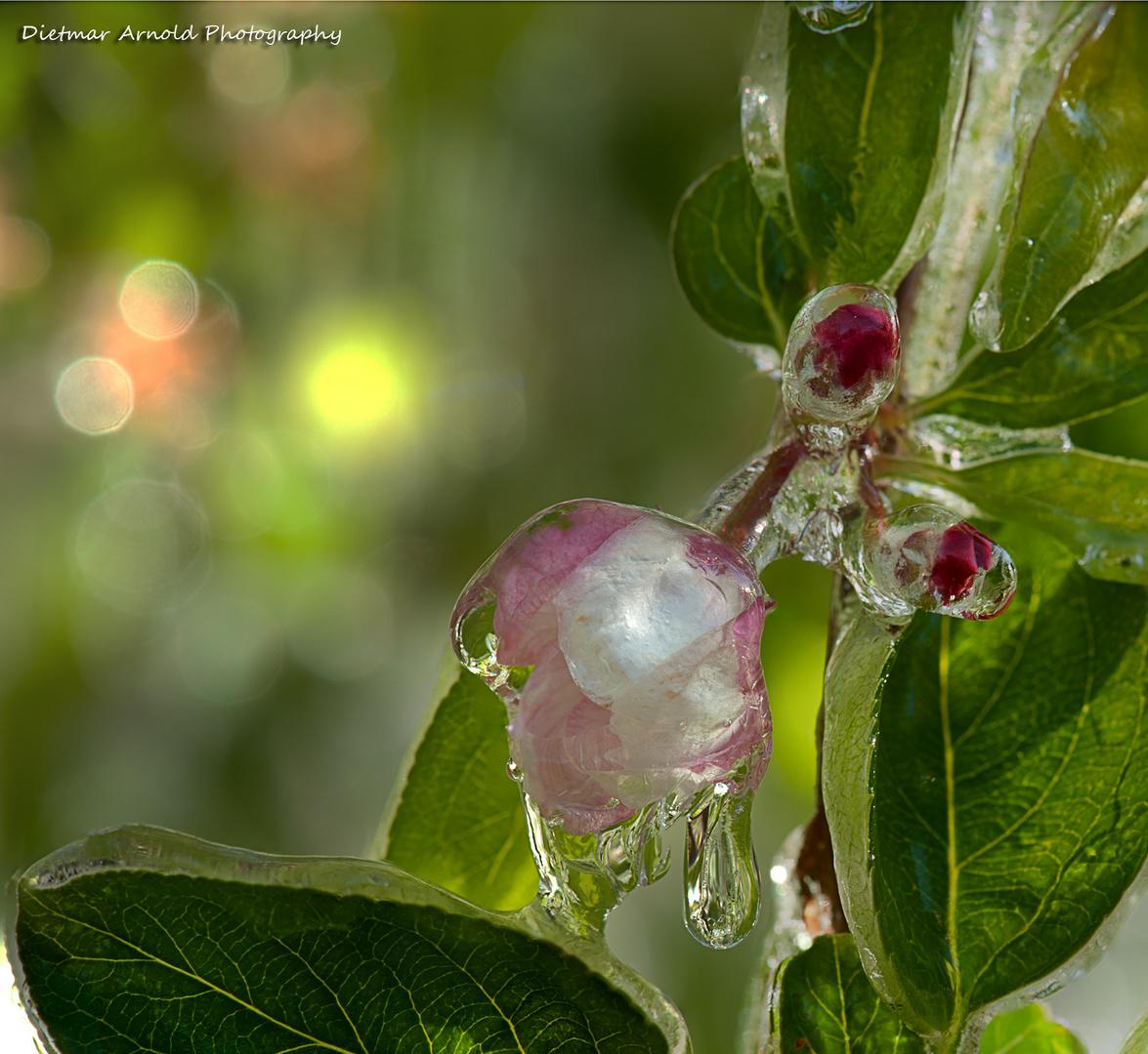 frozen blooms IV