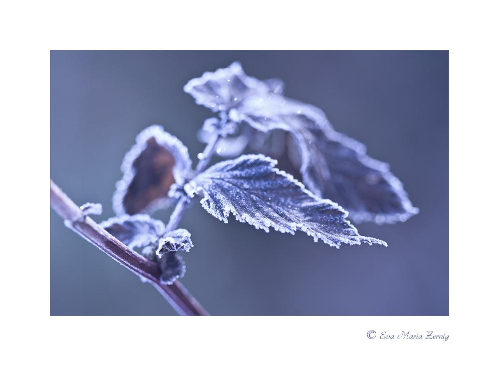 Frozen Leaf 2