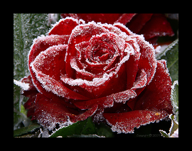 frozen rose (2)