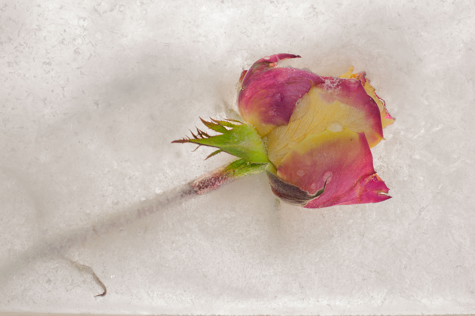 ...frozen rose...
