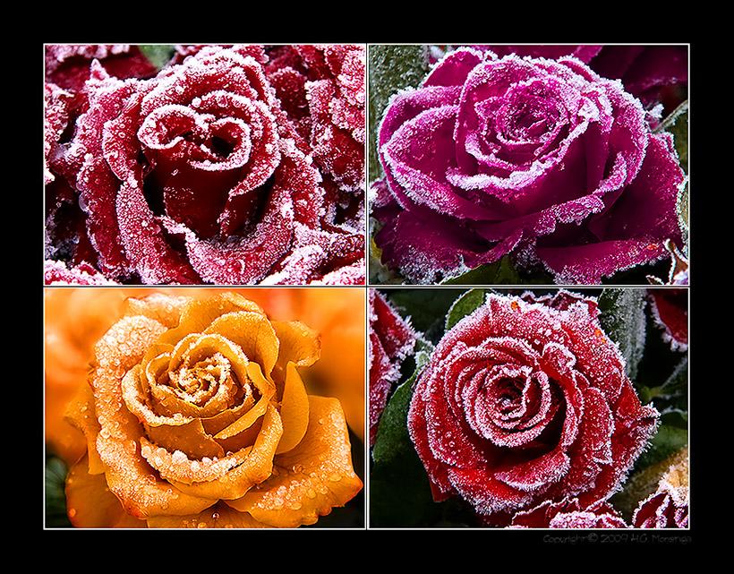 frozen roses (1)