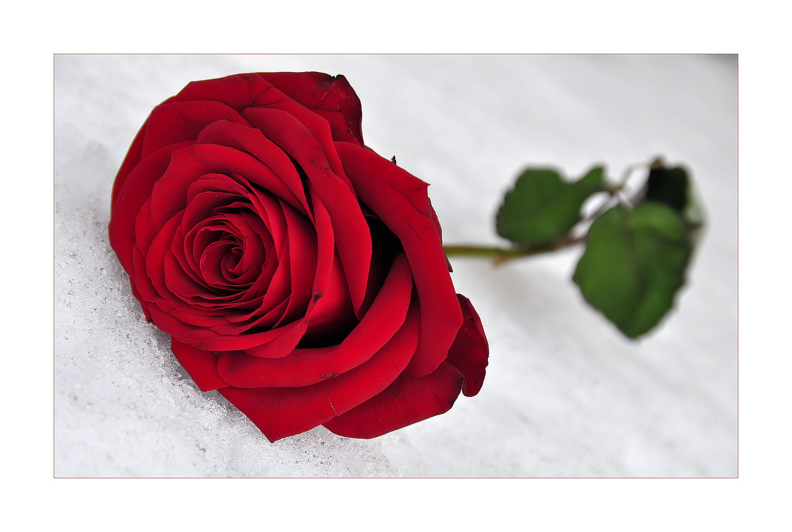 \\\ Frozen Roses ///