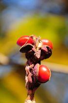 Frucht der Magnolie 1