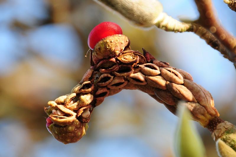 Frucht der Magnolie 3