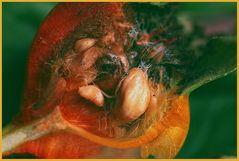 Frucht der Rosen