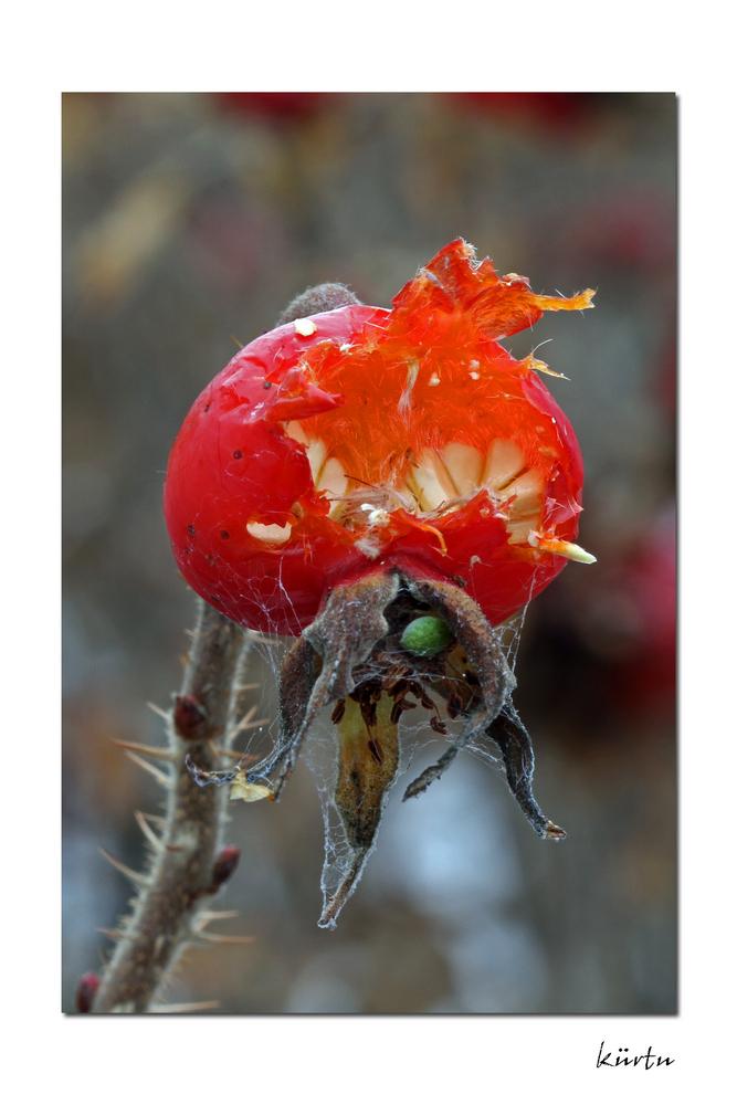 Frucht der wilden Rose