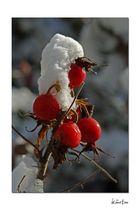 Frucht der wilder Rose II