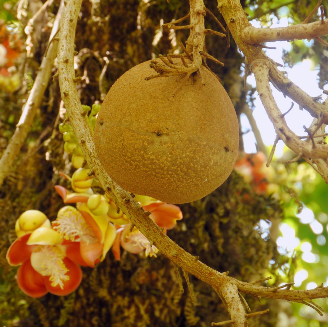 Frucht und Blüte des Kanonenkugelbaums