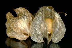Fruchtstände der Giftbeere
