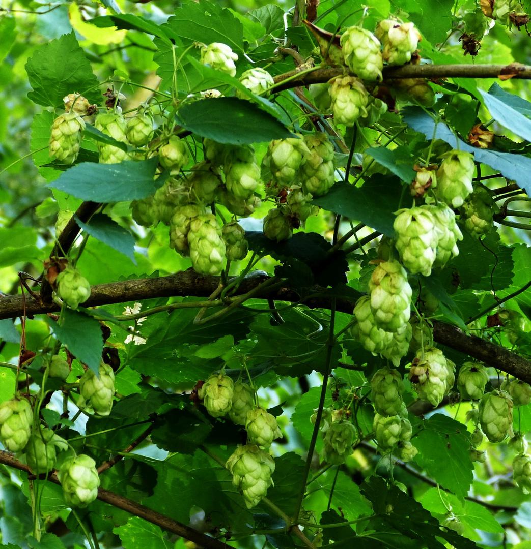 Fruchtstände des Wilden Hopfen