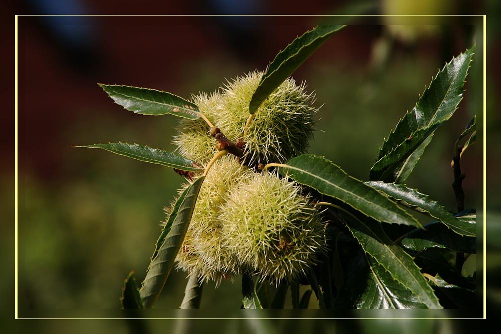 Fruchtstand der Edelkastanie - Castanea sativa im frühen September....