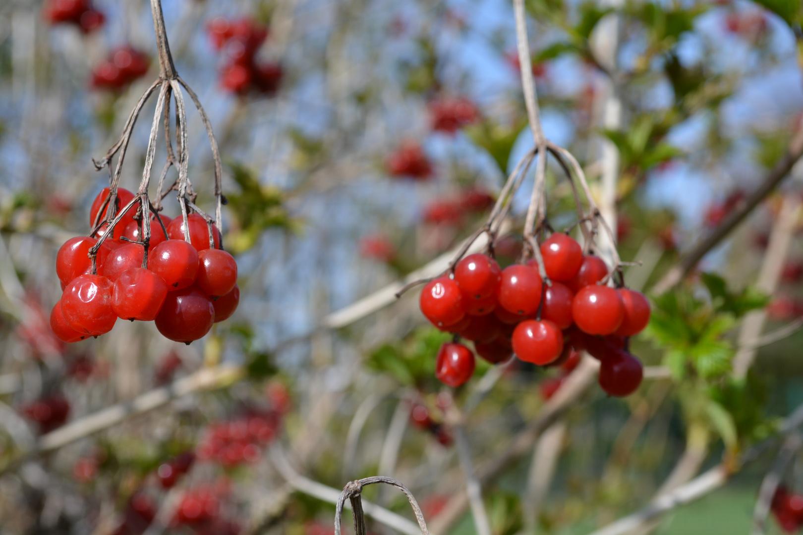 Früchte am Baum