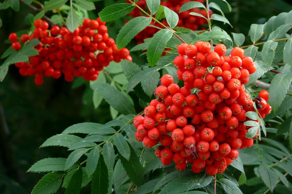 Früchte der Eberesche (Vogelbeerbaum)