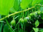 Früchte des Salomonsiegels