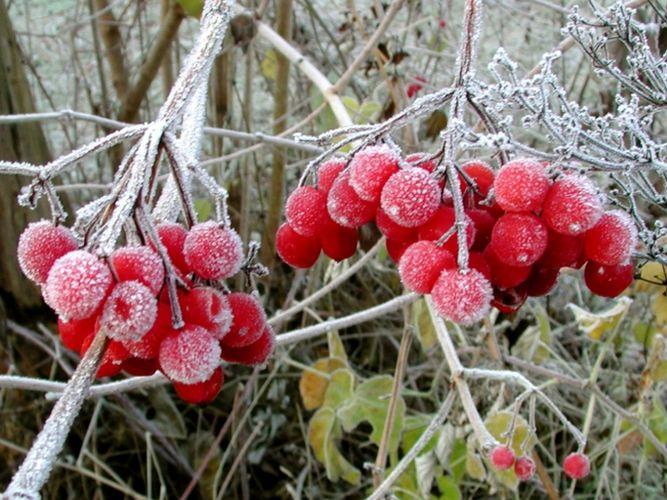 Früchte des Schneeballs