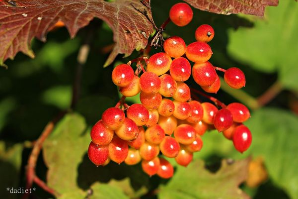 Früchte des Schneeballs ( Viburnum opullus )