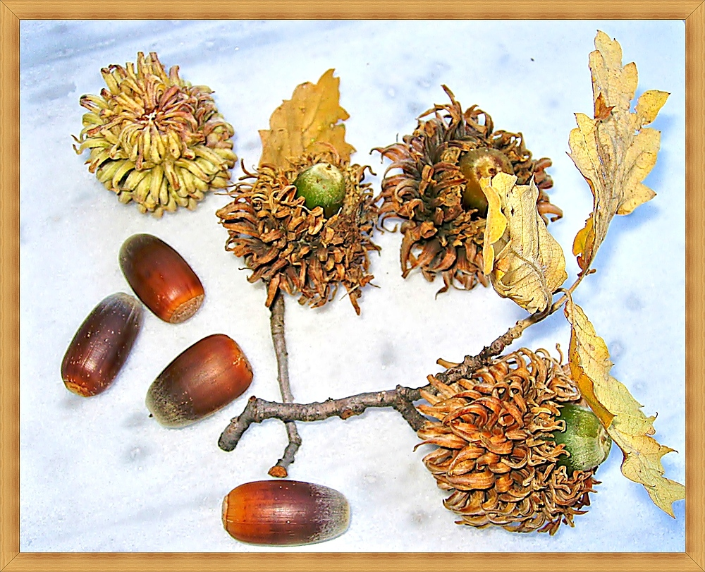 Früchte einer Zerreiche