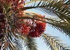 Früchte hängen hoch