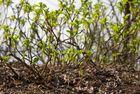 Früh Blühend 2