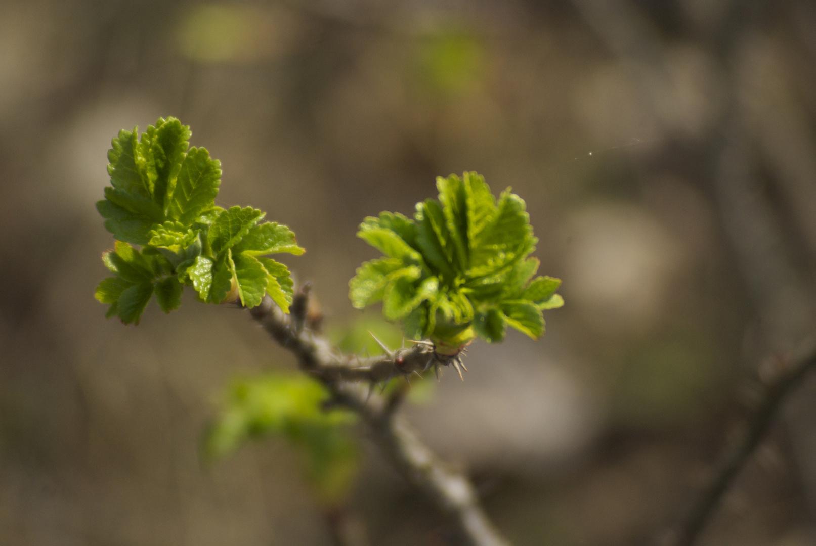 Früh Blühend 3