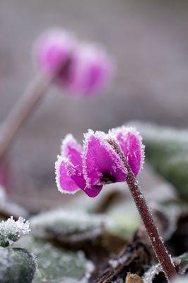 Frühblühende Alpenveilchen