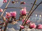 Frühblühende Magnolie