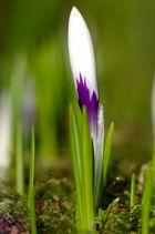 Frühblüher 2011 V