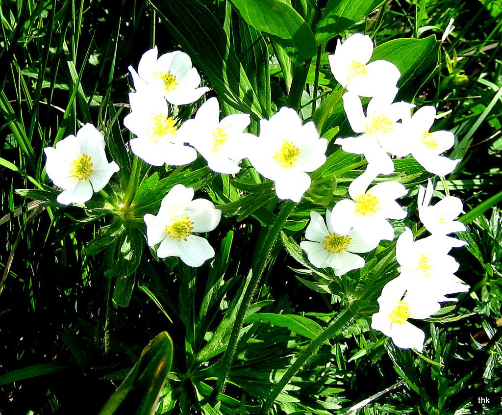 Frühblüher auf der Bergwiese bei den Sipplinger Nadeln