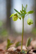 Frühblüher III (grüner Nieswurz)