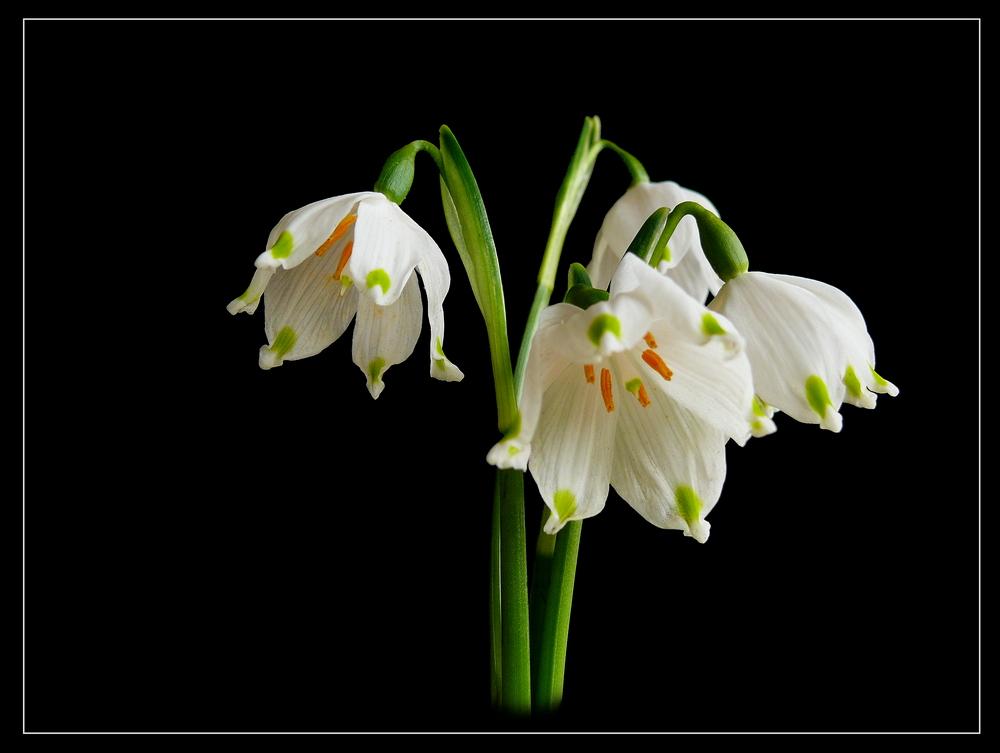 fr hbl her m rzenbecher foto bild pflanzen pilze flechten bl ten kleinpflanzen. Black Bedroom Furniture Sets. Home Design Ideas
