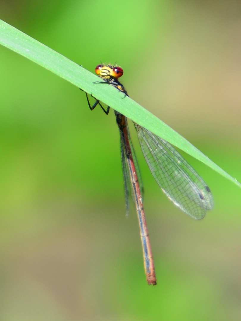 Frühe Adonisjlibelle (Pyrrhosoma nymphula)
