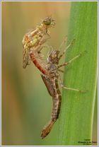 Frühe Adonisjungfer (Pyrrhosoma nymphula)