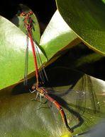 Frühe Adonislibellen - (Pyrrhosoma nymphula) - Ruhepause