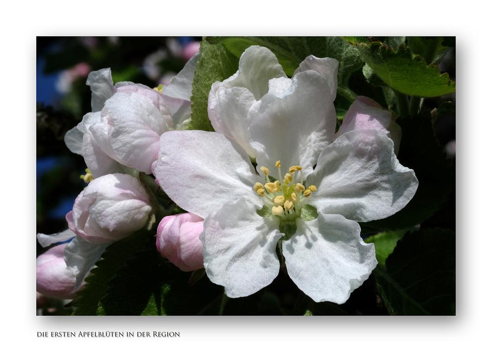 frühe Apfelblüte