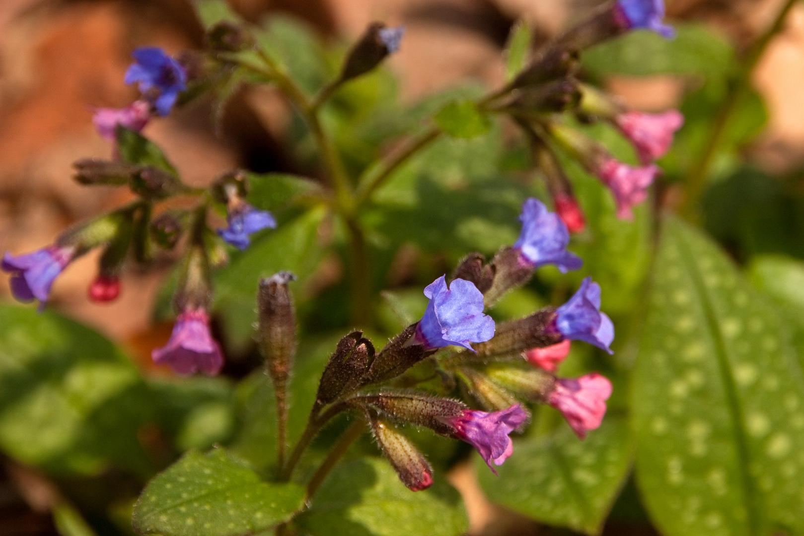 Frühe Heilpflanzen strahlen in der Frühlingssonne - hier das Gefleckte Lungenkraut