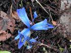 Frühe Iris