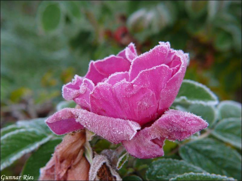 früher Frost