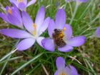Frühjahrsbiene