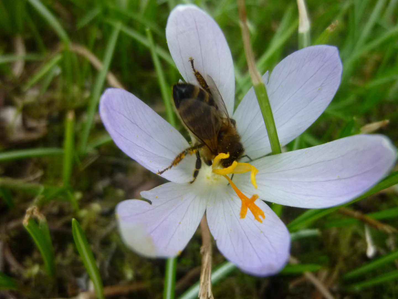 Frühjahrsbiene 2