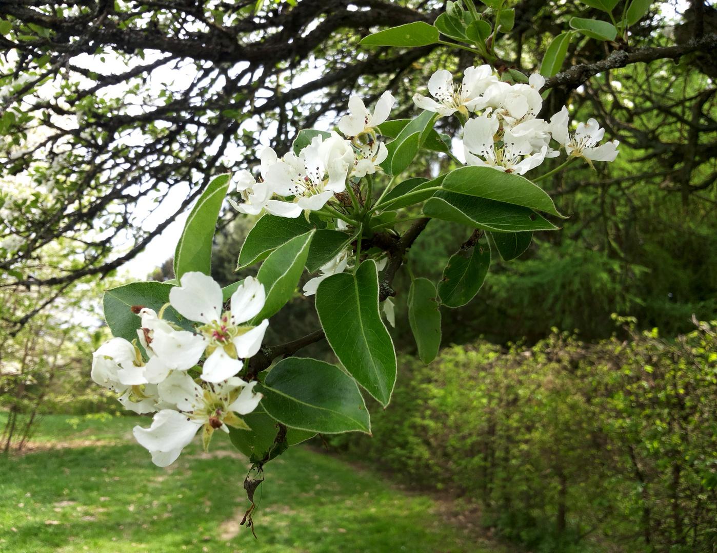 Frühjahrsgrüße 1 - blühender Kirschbaum