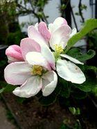 Frühjahrsgrüße 2 - blühender Apfelbaum