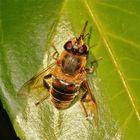 Frühjahrsputz bei der Mistbiene - Bild 2:  der Rüssel